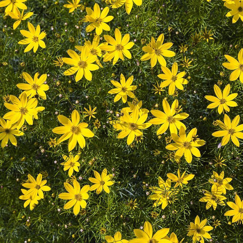 Zagreb Whorled Tickseed Coreopsis Verticillata Zagreb High Country Gardens Coreopsis Moonbeam High Country Gardens Tickseed