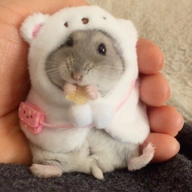 Pin By Allison Kuc On Animals Cute Hamsters Baby Hamster Funny Hamsters