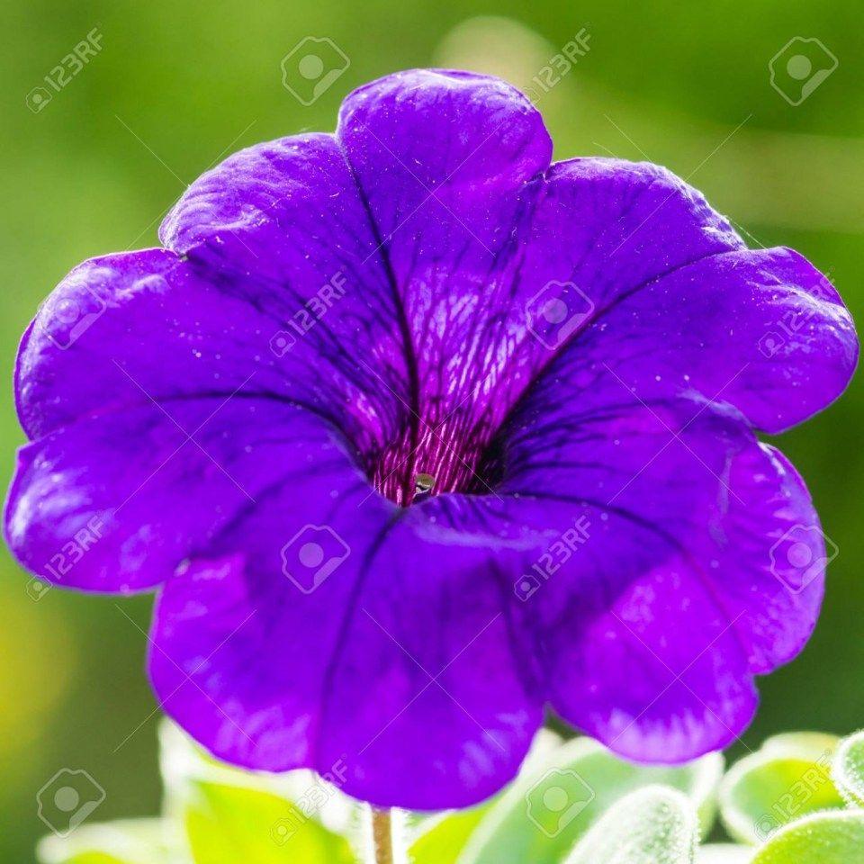Pin by Flower Design on Flower Wallpaper Purple petunias