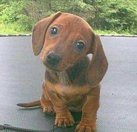 Miniature Dachshund Google Search Pet Stuff Dachshund
