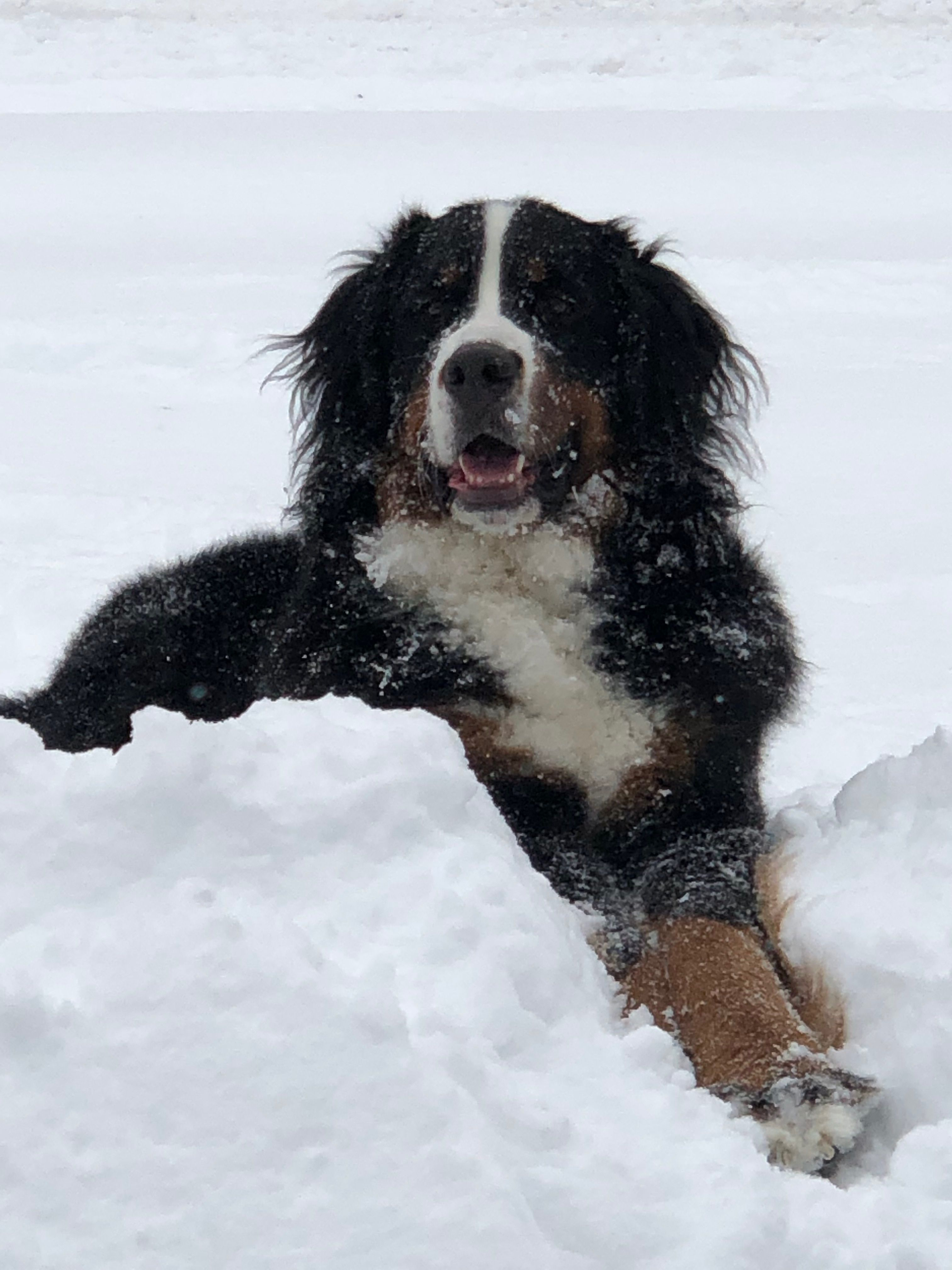 Pin By Dawn Summers Lawrence On Memphis Bleu Bernese Mountain Dog Cute Baby Animals Mountain Dogs