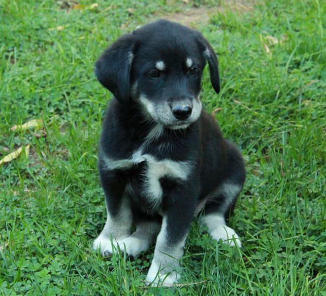 Border Collie Cross Husky Puppy For Sale Border Collie Husky Mix