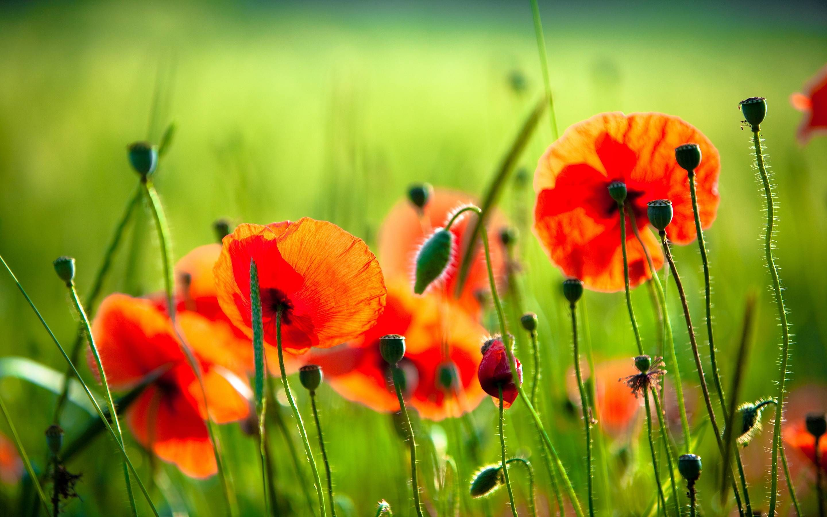 Most Downloaded Poppies Wallpapers Full Hd Wallpaper Search