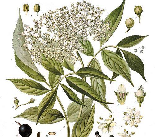 Sambucus nigra (Saúco) http://www.pinterest.com/evoketheelement/fire-key-ingredients/