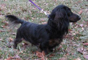 Adopt Ollie on Adoptable dachshund dog, Dogs, Dachshund