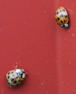 How To Get Rid Of Ladybugs Or Asian Lady Beetles Asian Ladybugs Lady Beetle Asian Beetle