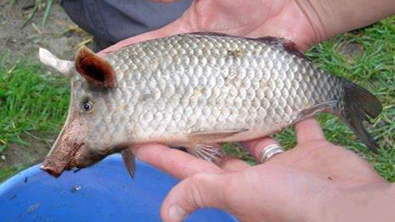 Image result for fish walmartians and other oddities for Is tilapia a fake fish