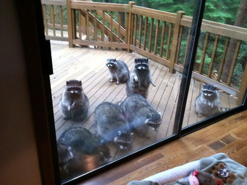 This is what happened at our last house the first afternoon - the previous owners fed the racoons!