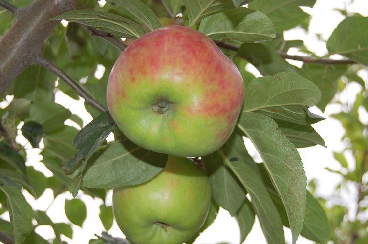 Äpfel - Gravensteiner (8-11)