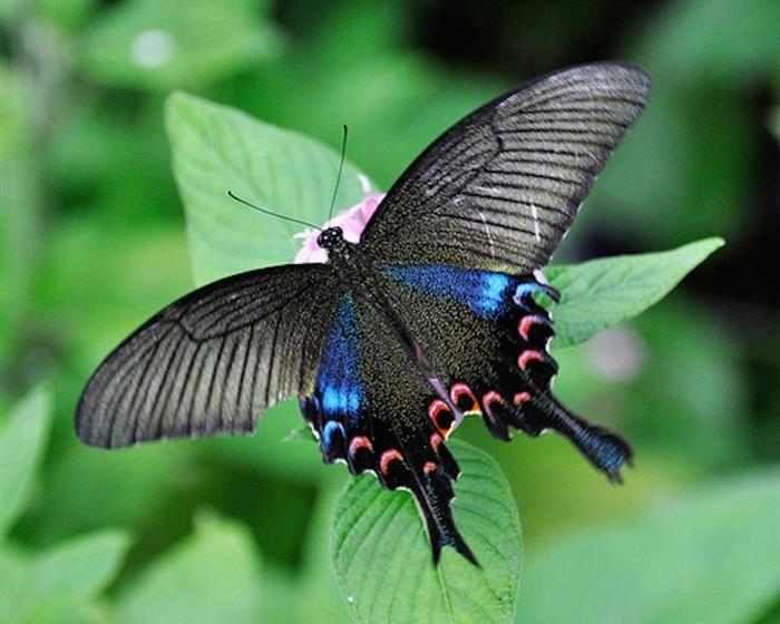 Mariposas  La Papilio chikae fue descubierta en 1995 en Las Filipinas. Esta mariposa posee alas oscuras de aproximadamente 10 cm, con manchas de color azul brillante.