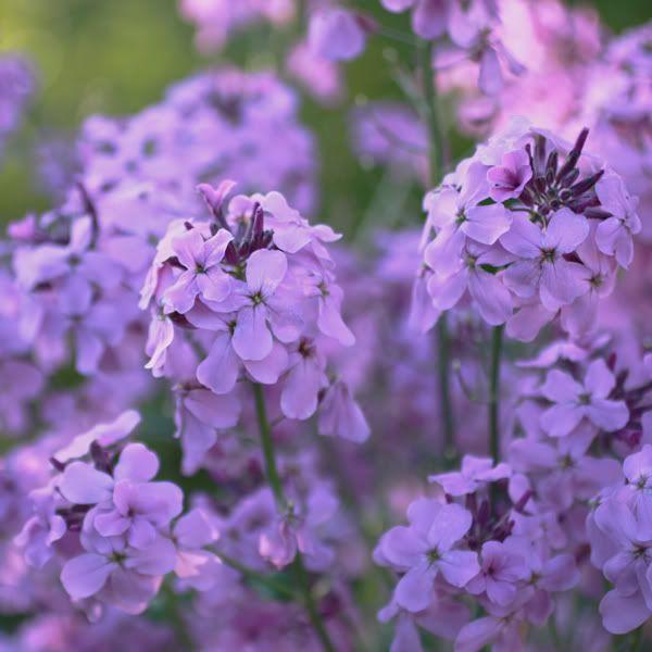 Sweet Rocket Wild Flower Meadow Wild Edibles Flowers Perennials