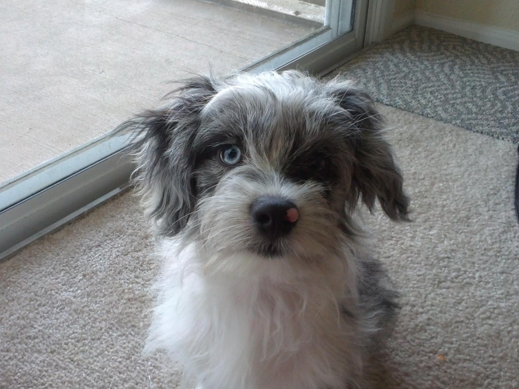 This is my Mini Aussie Shepherd/Havanese Cooper!! 4 months old! I ...