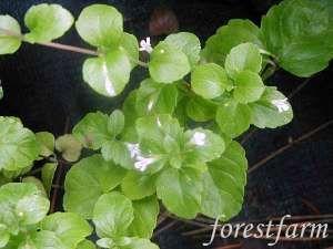Satureja Douglasii Yerba Buena Plant Nursery Plants Perennials