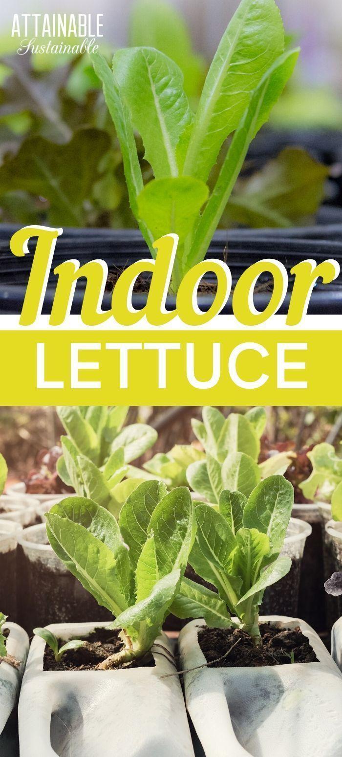 Photo of Anbau von Salat in Innenräumen für frisches Grün im Winter (oder das ganze Jahr über), #fresh #Greens # …