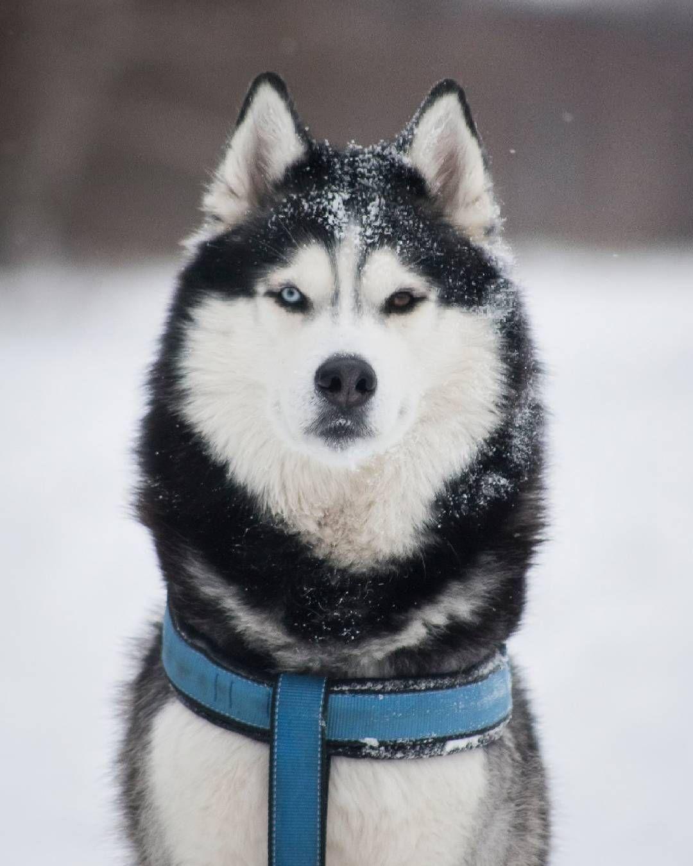 Pin by Alaric Cale on Siberian huskies | Pinterest | Siberian ... | Siberian Husky Puppies Boston Ma