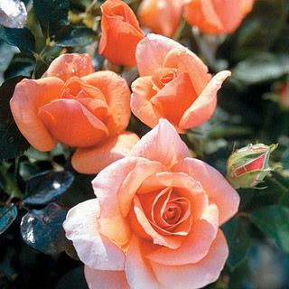Nancy Reagan Hybrid Tea Rose - Graceful, perfectly formed blooms! An ideal choice for the cutting garden.