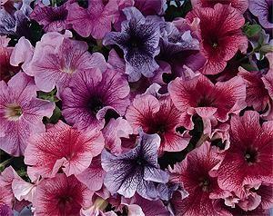 Petunia Petunia X Hybrida Petunias Are Popular Low Growing