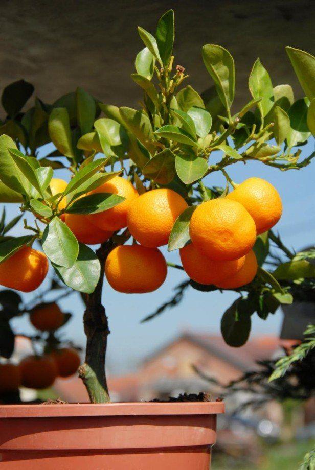 zwerg zitrusbäume kübel pflanzen zwerg orange | balkon & terrasse, Terrassen ideen