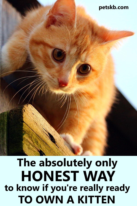 Should I Get A Kitten The Pets Kb In 2020 Getting A Kitten Kitten Cat Care