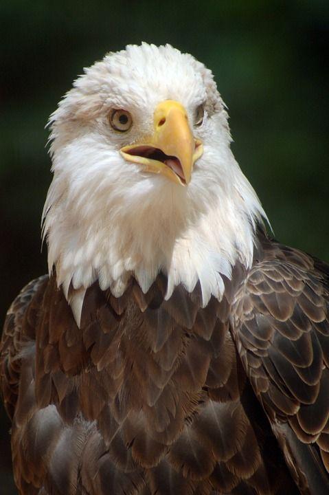 Image gratuite sur Pixabay - Aigle À Tête Blanche, Eagle, Oiseau ... d63390e73b8