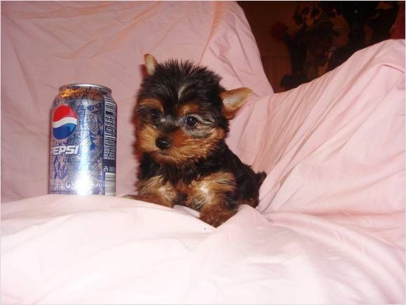 Tea Cup Newborn Puppies For Adoption 200 00 I Have Nice Baby Face Yorkie