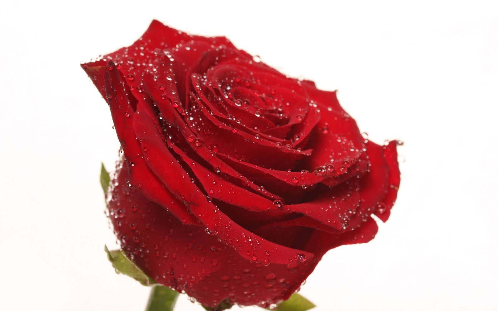 beautiful Single roses Rose | Single Red Rose Wallpapers for