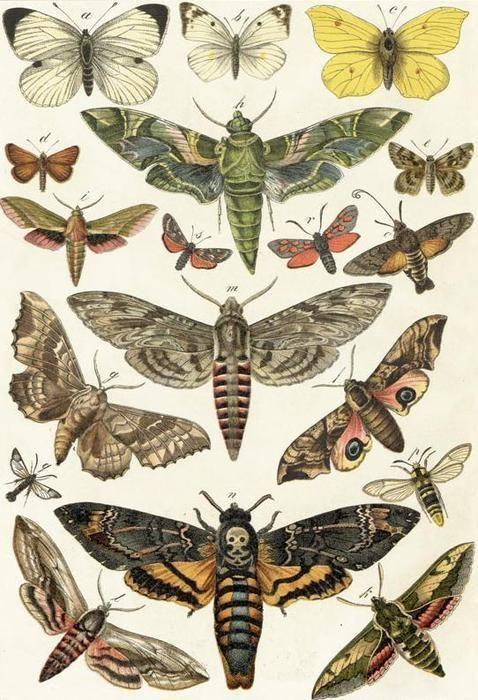 Pin Von Kerstin Henkel Auf Schmetterlinge Und Motten Insektenkunst Botanische Zeichnungen Vintage Kunst