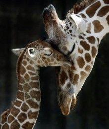 giraffe mommy & baby