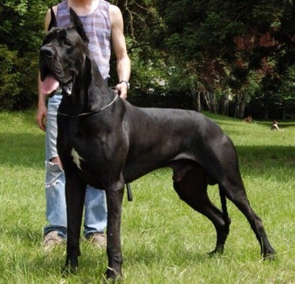 Pin By Christie Jameson On Worlds Biggest Dog Breeds