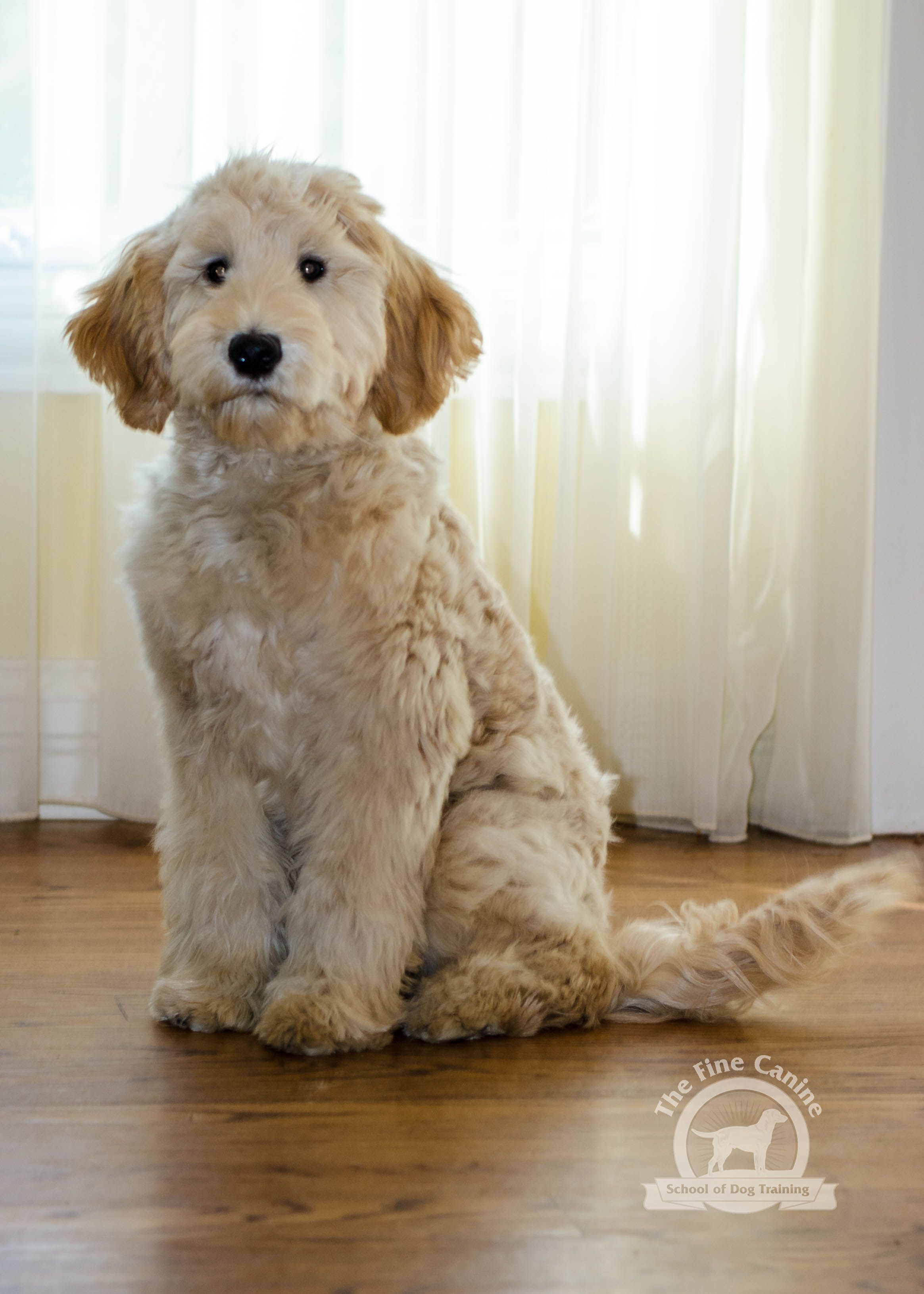 Odessa The 5 Month Old Goldendoodle With Images Goldendoodle