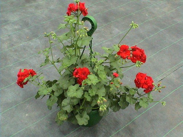 geranium lierre primev re planter des fleurs g ranium et primev res. Black Bedroom Furniture Sets. Home Design Ideas