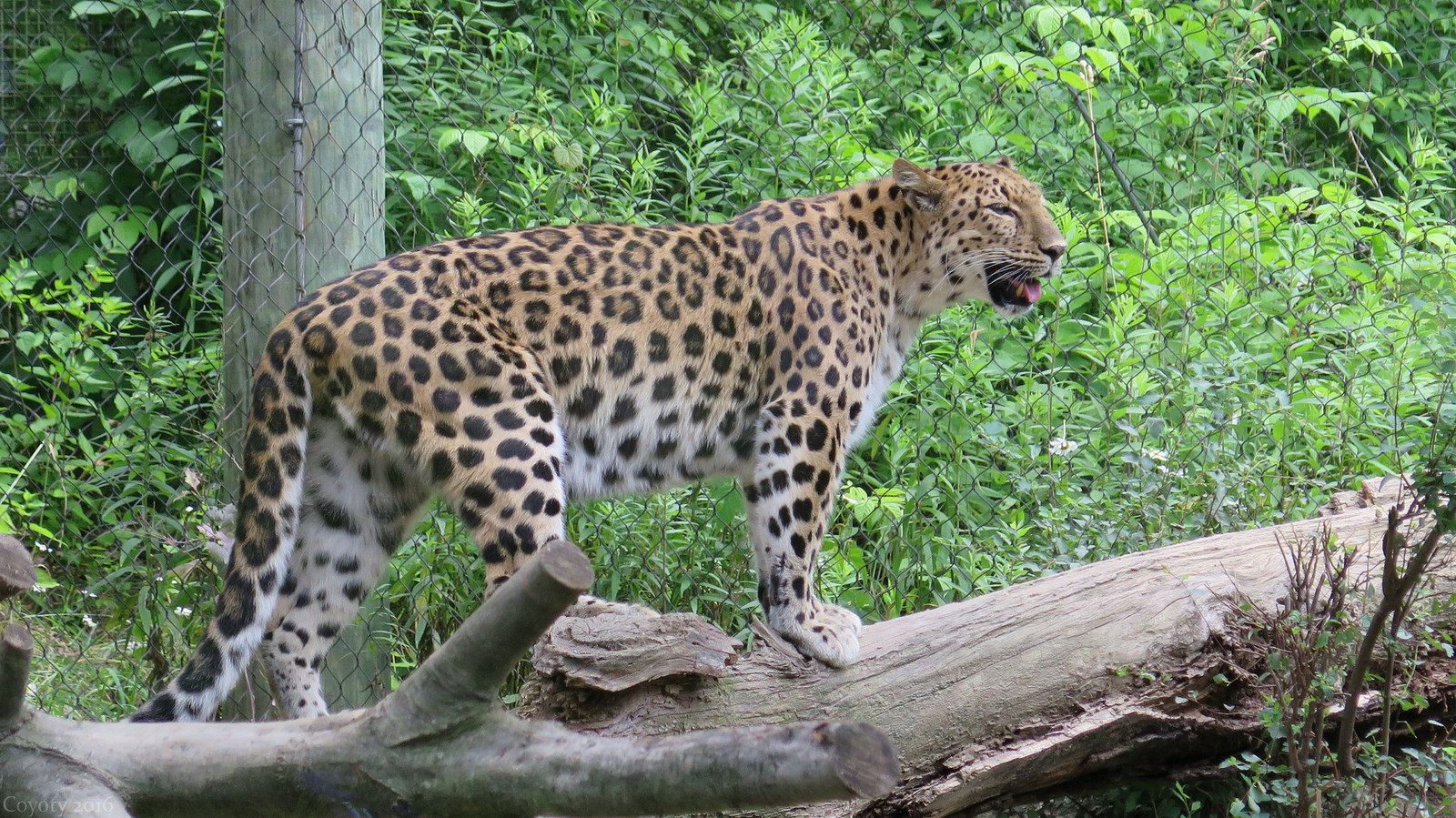 Amur Leopard Panthera Pardus Orientalis At The Pittsburgh Zoo In Pittsburgh Pa License All Rights Reserved Amur Leopard Pittsburgh Zoo Panthera Pardus