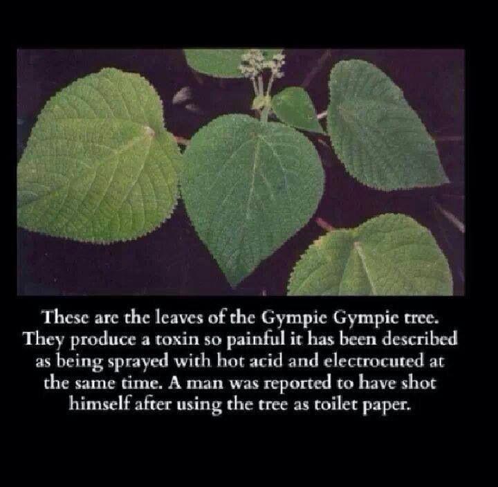 Taken From Creepy Pasta Gympie Plants Poisonous Plants