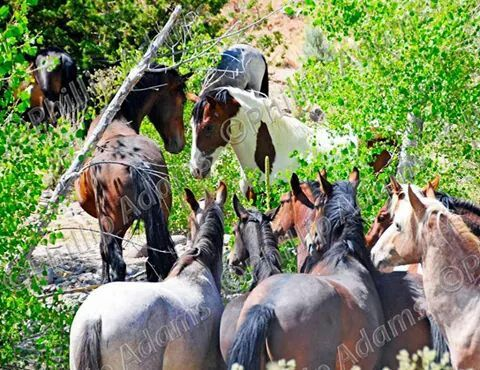"""Ha ha ha, the photographer aptly called this """"Horse TV."""" A group of bachelors watching another bachelor square off with a stallion while the mares graze unconcernedly behind."""