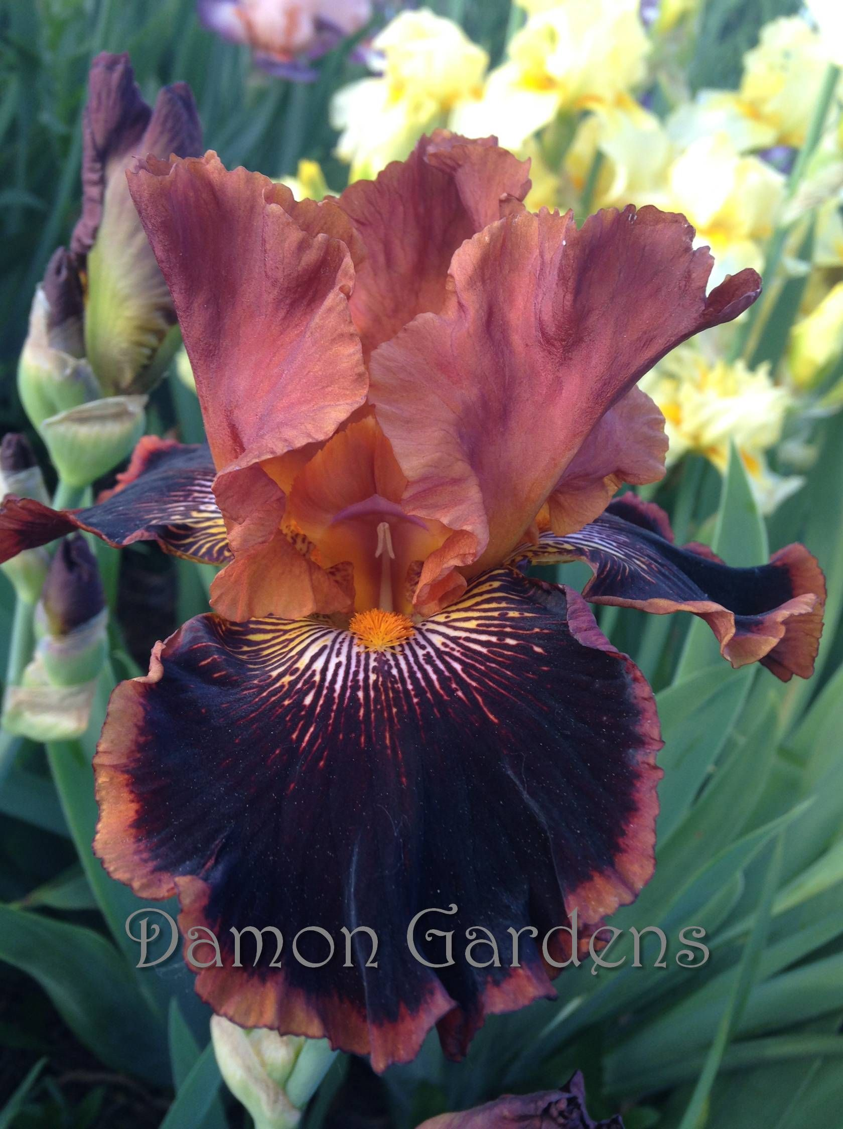 Most gorgeous Iris ever! \
