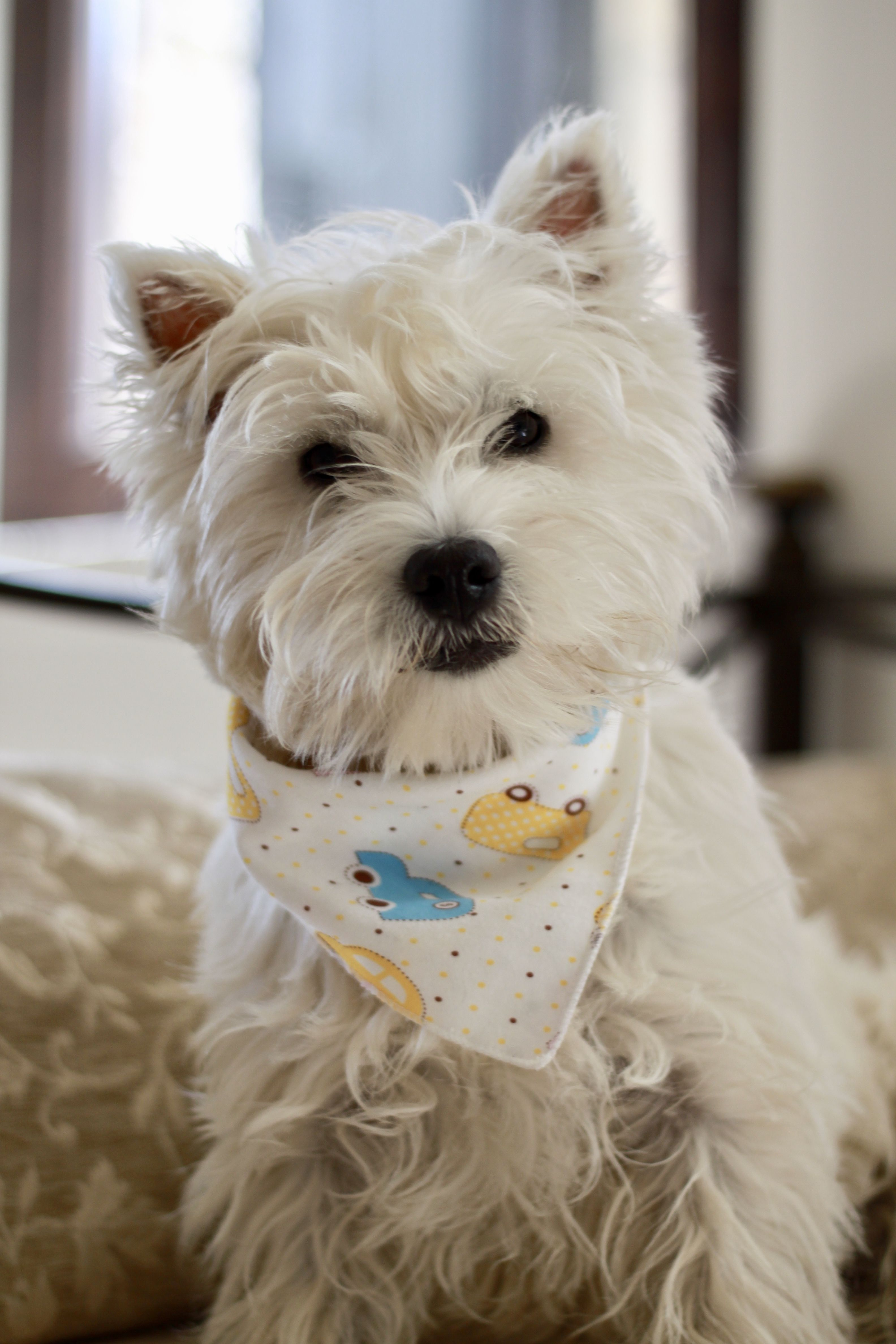 Westie Romy Puppy 8 Months Chiot 8 Mois Westies West Highland