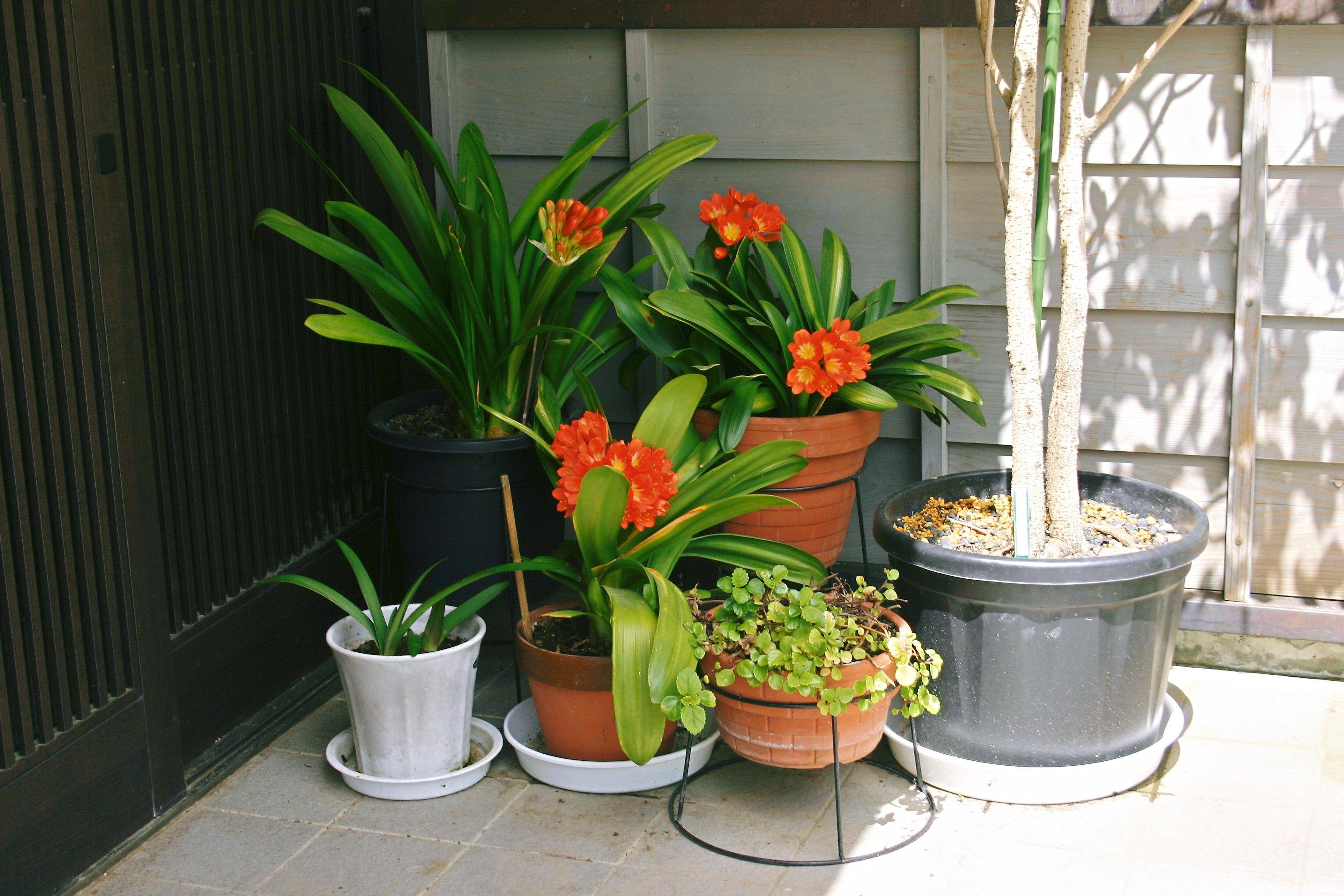 2011 June 君子蘭(ヒガンバナ科) 蘭と言っても蘭の仲間ではなく、彼岸花の仲間だそうな。よそは早春に咲くのに、常樂院のは5月から6月に咲きます。