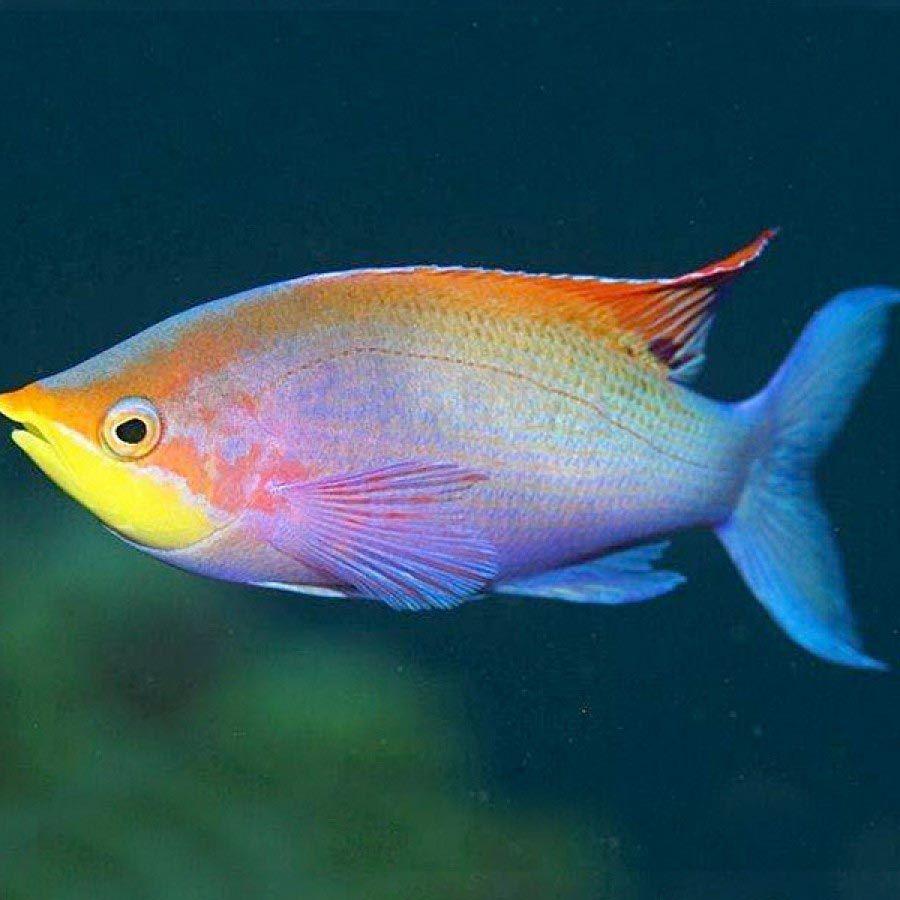 Freshwater aquarium fish exotic - Fish Exotic Rare Freshwater Aquarium Fish