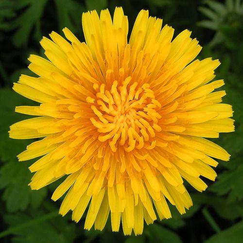 Dandelion Flower Dandelion Flower Healing Flowers Dandelion