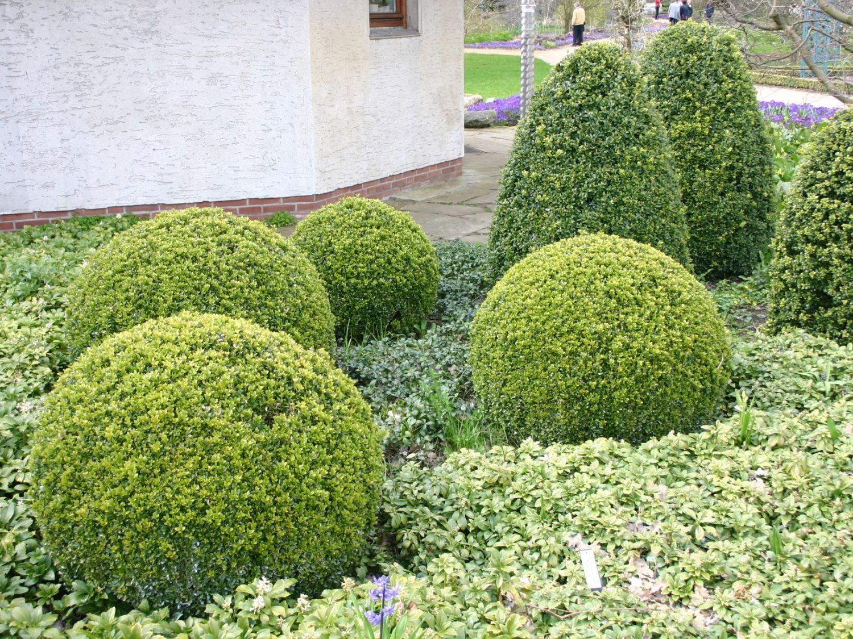 Buxus sempervirens Kugel Buchsbaum Kugel buxus
