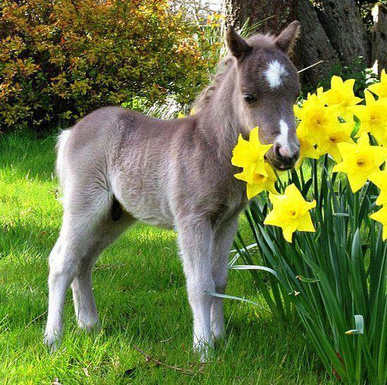 mini pony, cute, nuttet, påskeliljer, flowers, photograph, adorable, all alone, child, horse