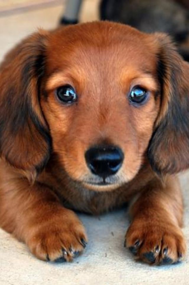 I Want A Dachshund Puppy Cutest Small Dog Breeds Baby Dogs