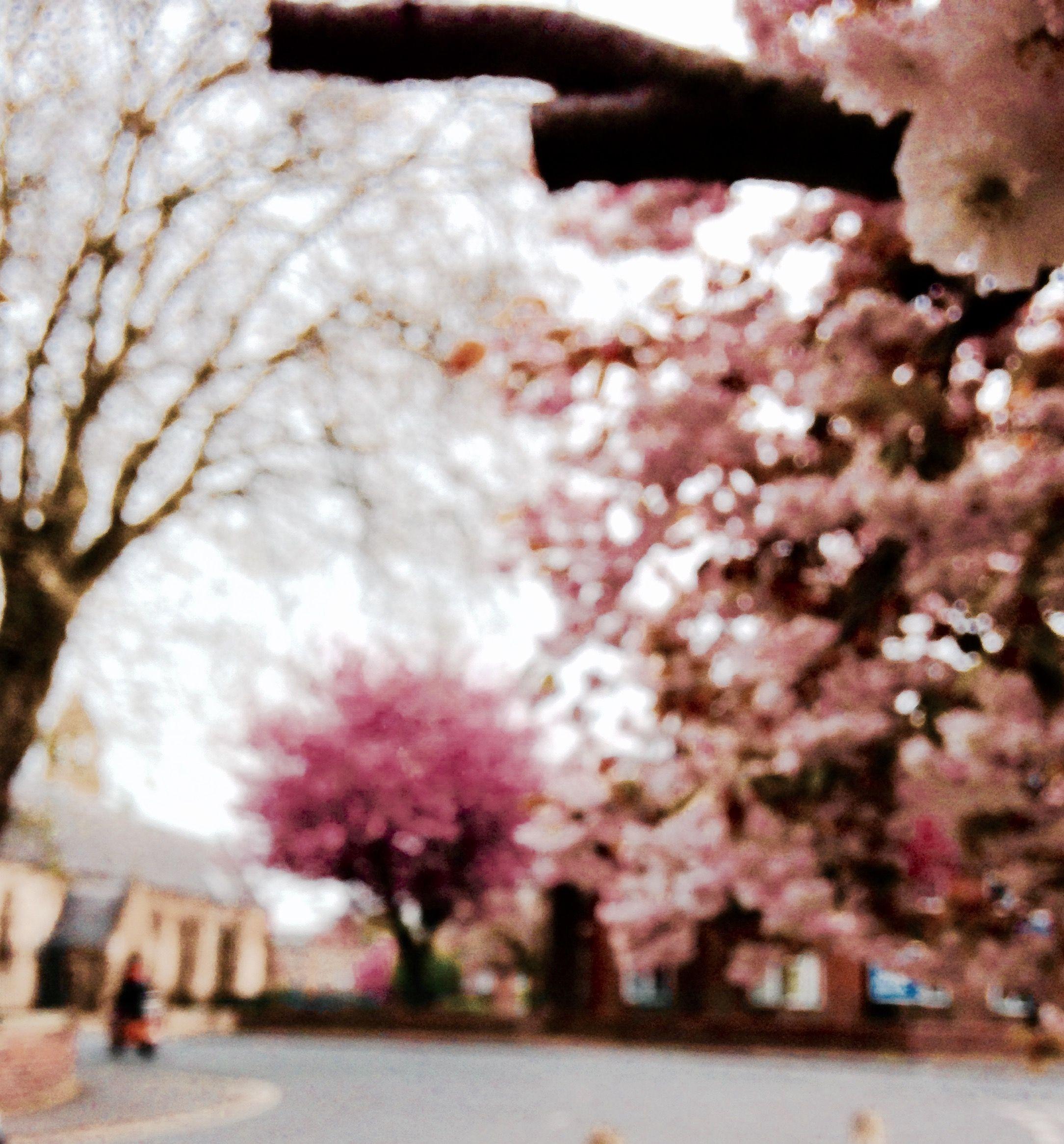 Cherry Blossom aesthetic, York Cherry blossom, Blossom