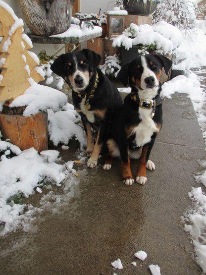 Der Appenzeller Sennenhund Hunde Sennenhund Und Arbeitshunde