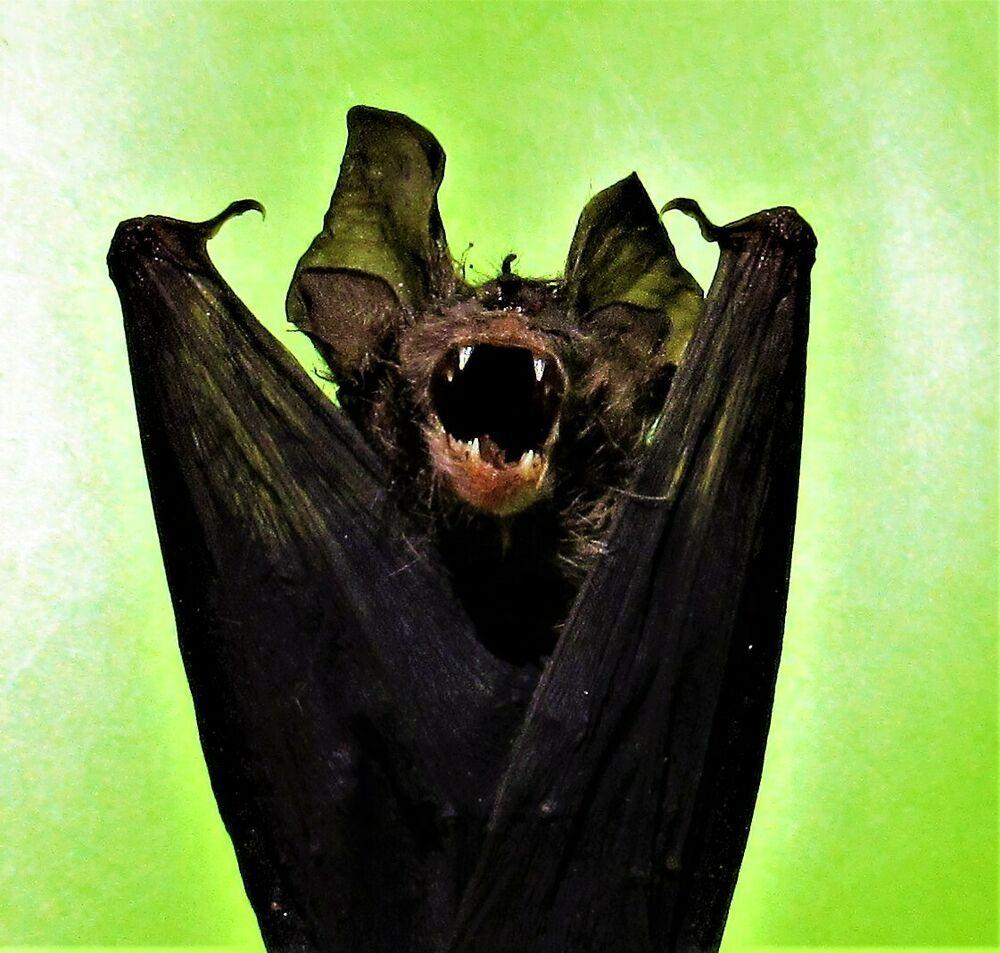 Real Blyth/'s Horseshoe Bat Rhinolophus lepidus Skull FAST FROM USA