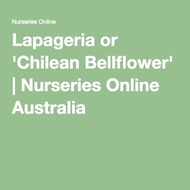 Lapageria Or Chilean Bellflower Nurseries Online Australia
