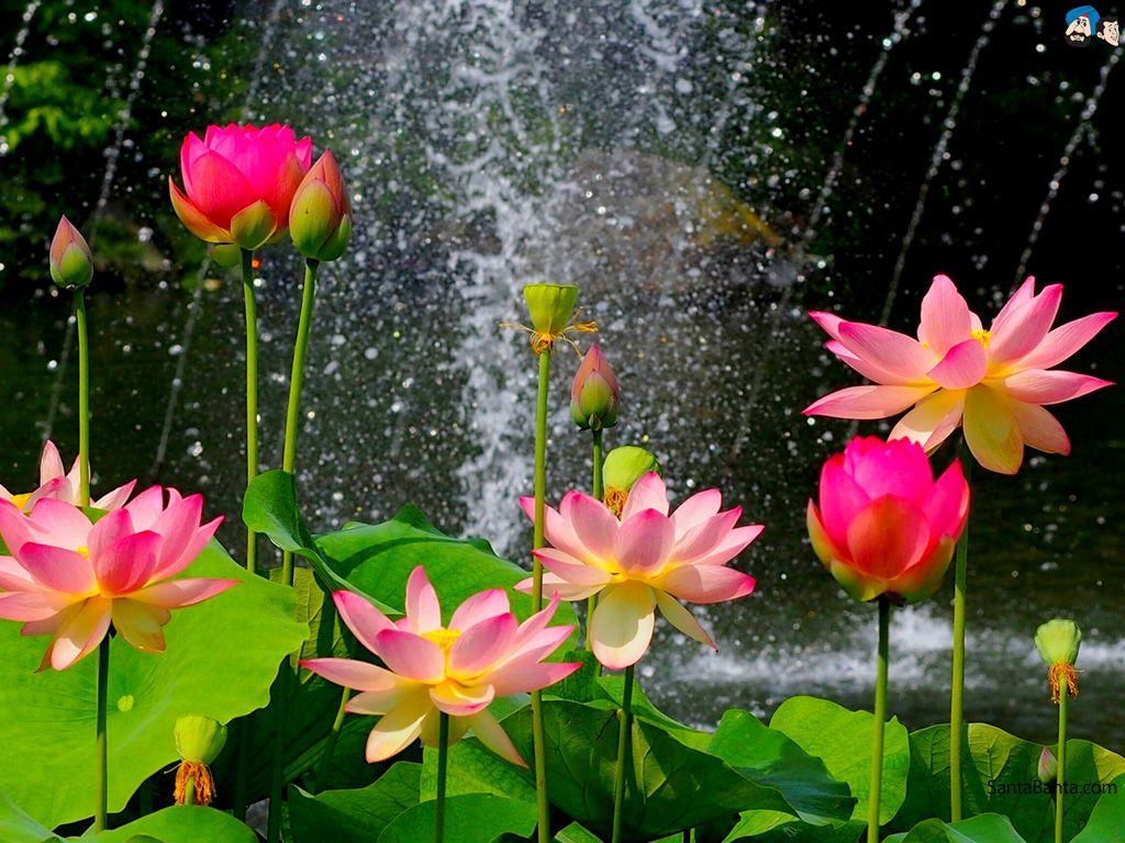Lotus Flower Mp3 Gallery Flower Decoration Ideas
