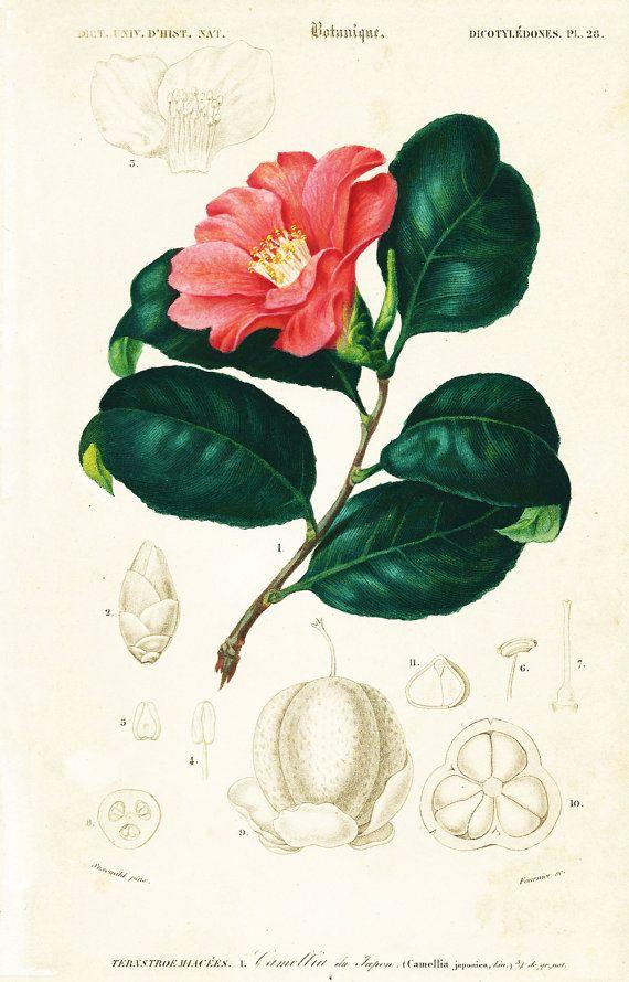 1861 Camellia Japonica By Ch Orbigny Original Antique Botanical Print Hand Colored Garden Tea Flower Kitchen Decor Botanical Flowers Botanical Prints Antique Botanical Print