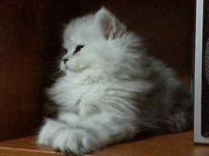 Silver Shaded Dollface Chinchilla Persian Kittens Cats Kittens For Sale London Kijiji Persian Kittens Cats Cute Cats