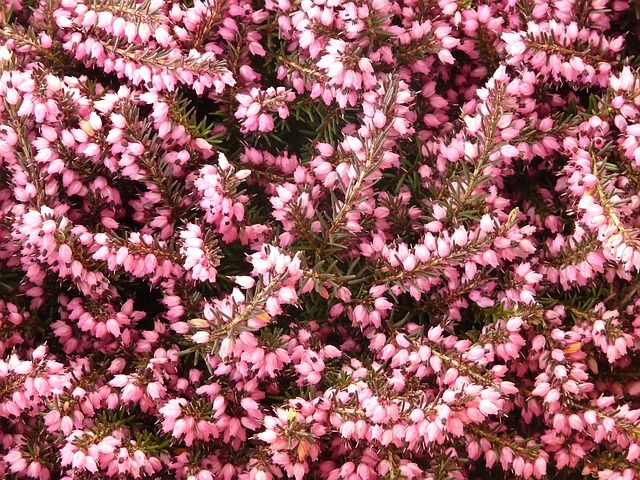 Heather Erika Flower Bloom Plant Public Domain Image 5906640 X 480 118 2kb Pixabay Com Flower Therapy Italian Flowers Flowers